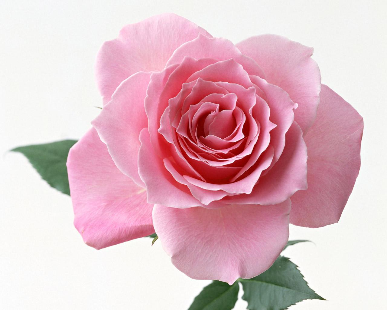Pink Rose Desktop Wallpaper 123mobileWallpaperscom 1280x1024