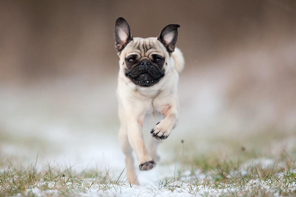 Pug Wallpaper Screensaver Background Pugs Pinterest 960x640
