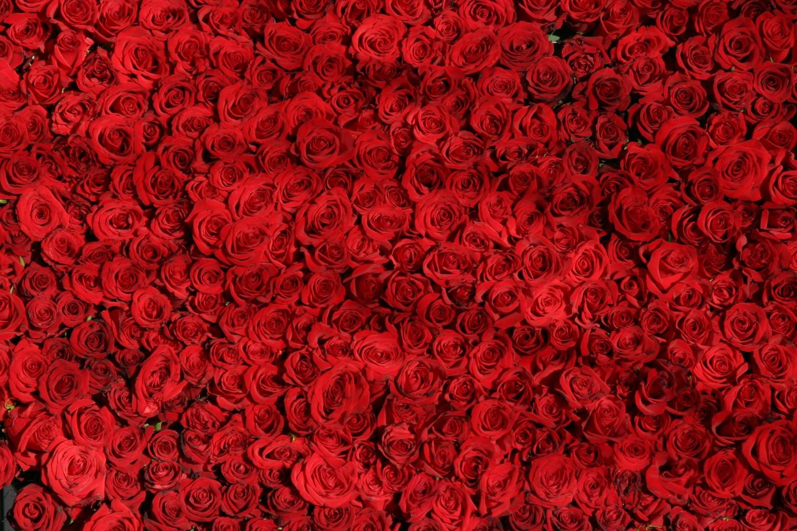 background roses rouges images photos hd gratuites libres de 1560x1040