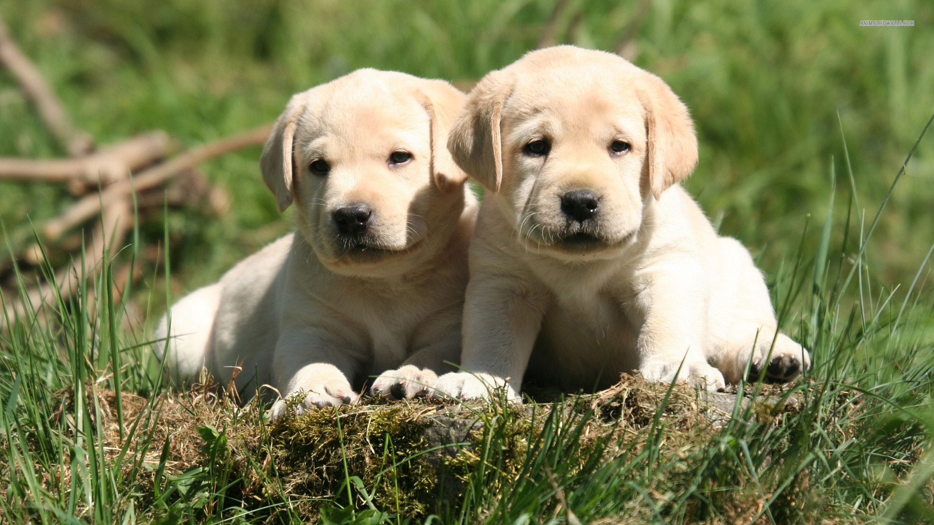 Labrador Retriever Puppies Wallpaper 1920x1080