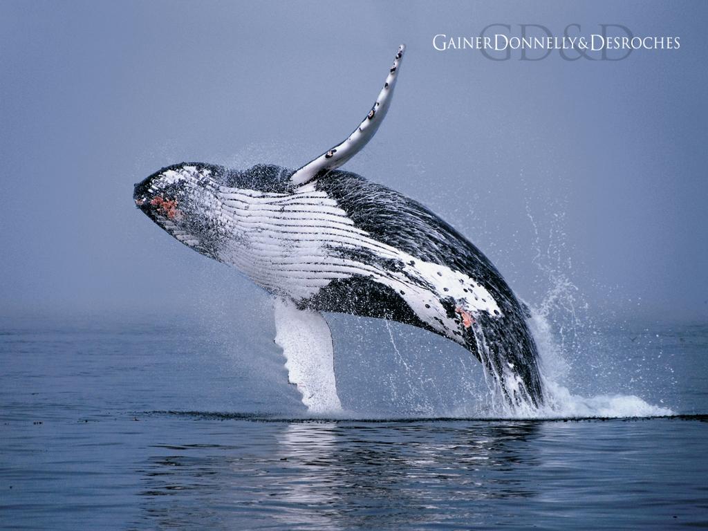 Hd Wallpapers Humpback Whale Jumping 1920 X 1080 1014 Kb Jpeg HD 1024x768