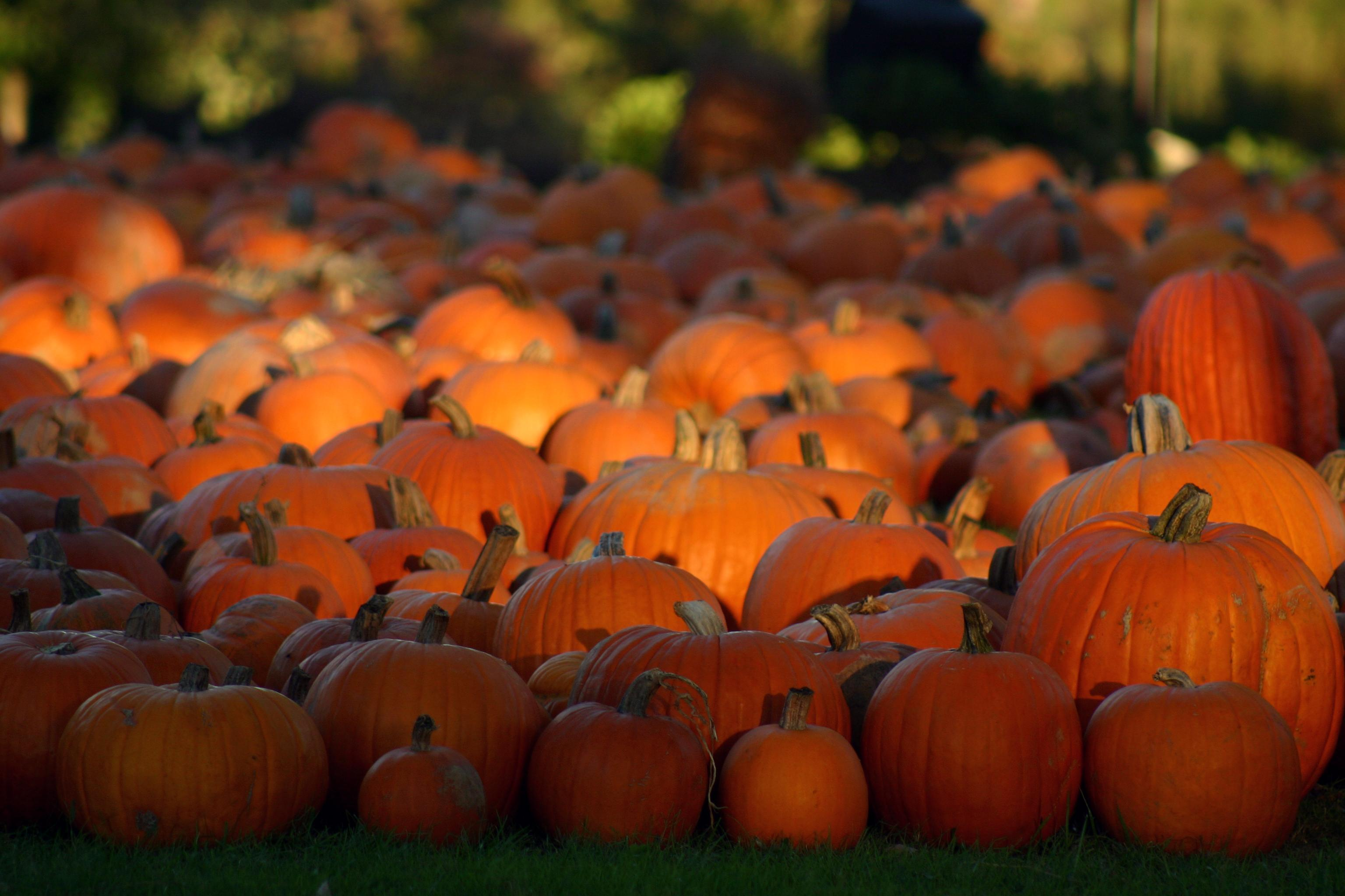 download Halloween Pumpkin Patch Wallpaper MAROONBEARDCOM 3072x2048