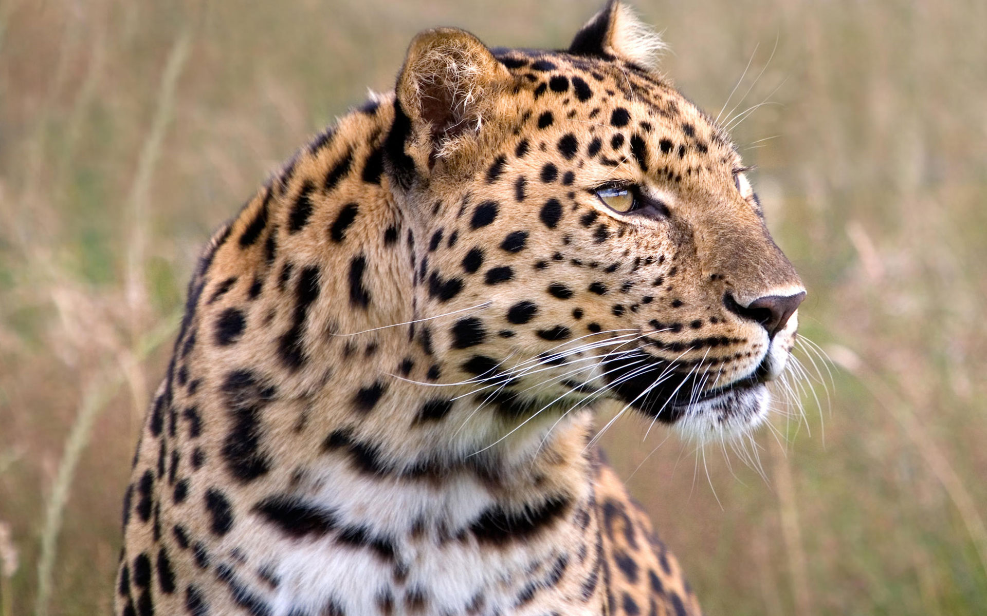 Male Amur Leopard Wildlife Heritage UK Wallpapers HD Wallpapers 1920x1200