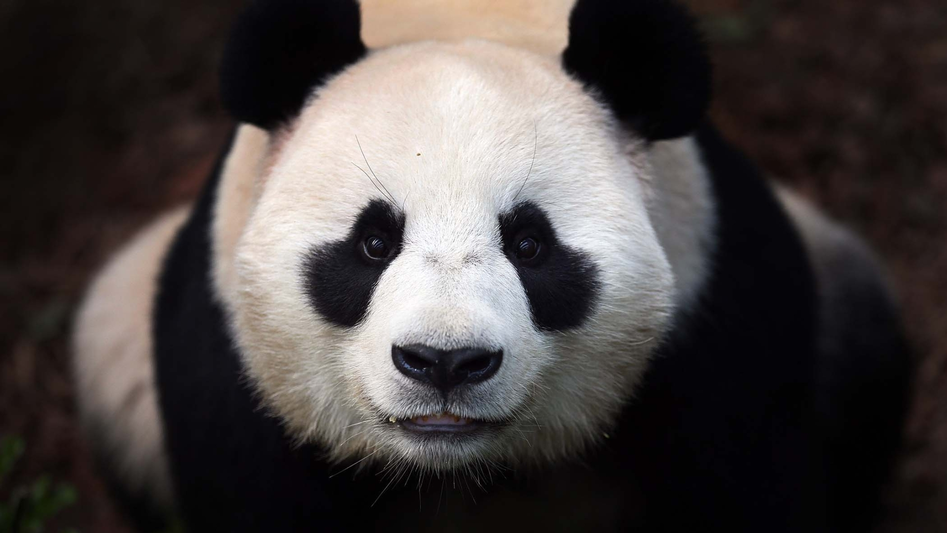 Sad Panda Bear   Viewing Gallery 1920x1080