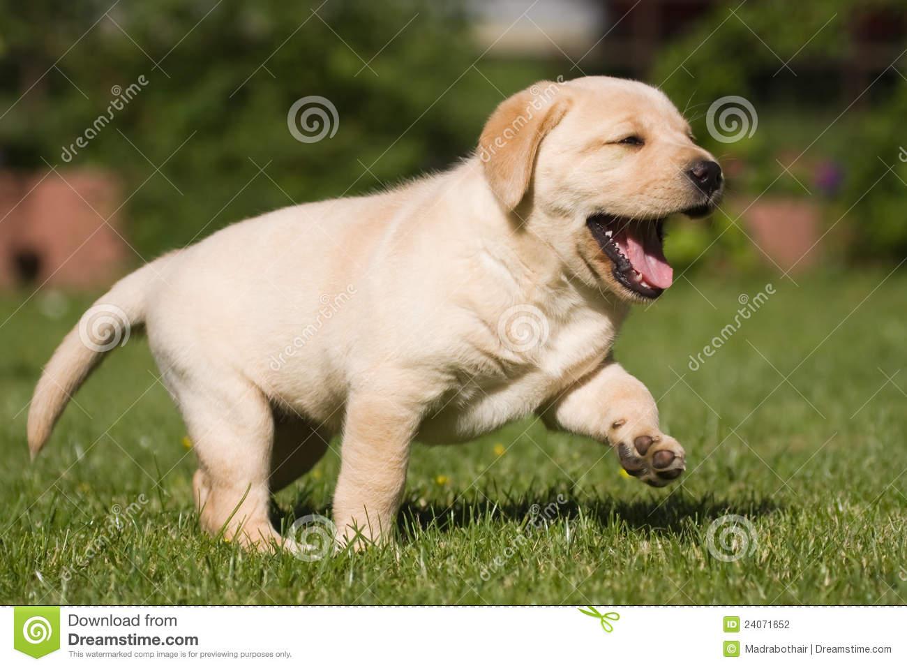 Cute Lab Puppies Wallpaper