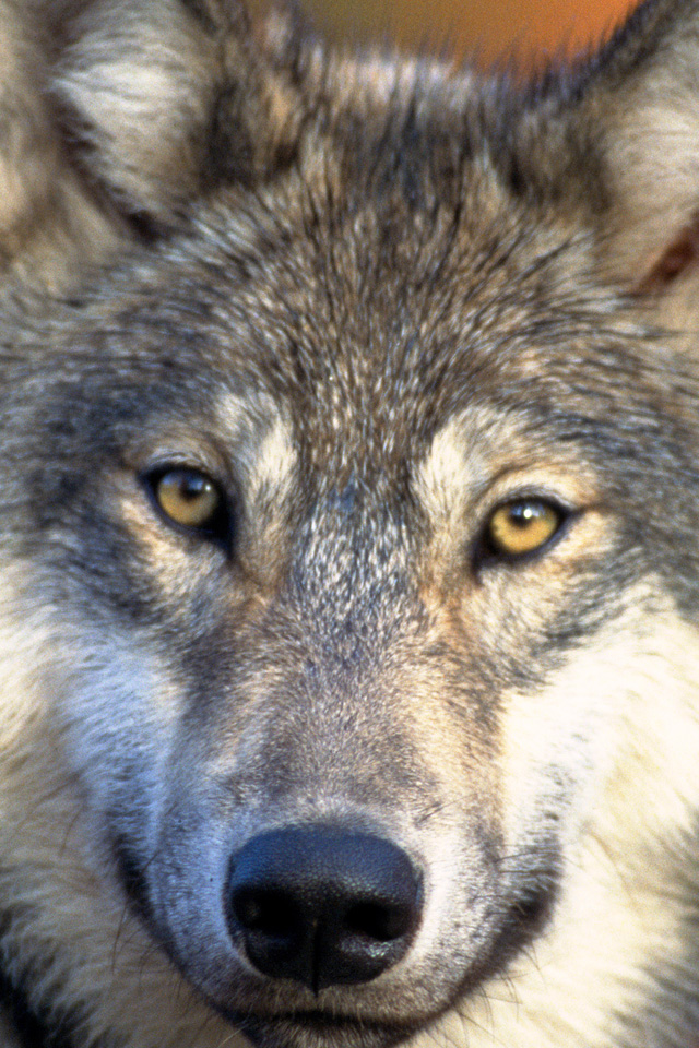 Gray Wolf Wallpaper Ipad wallpaper gray wolf 640x960