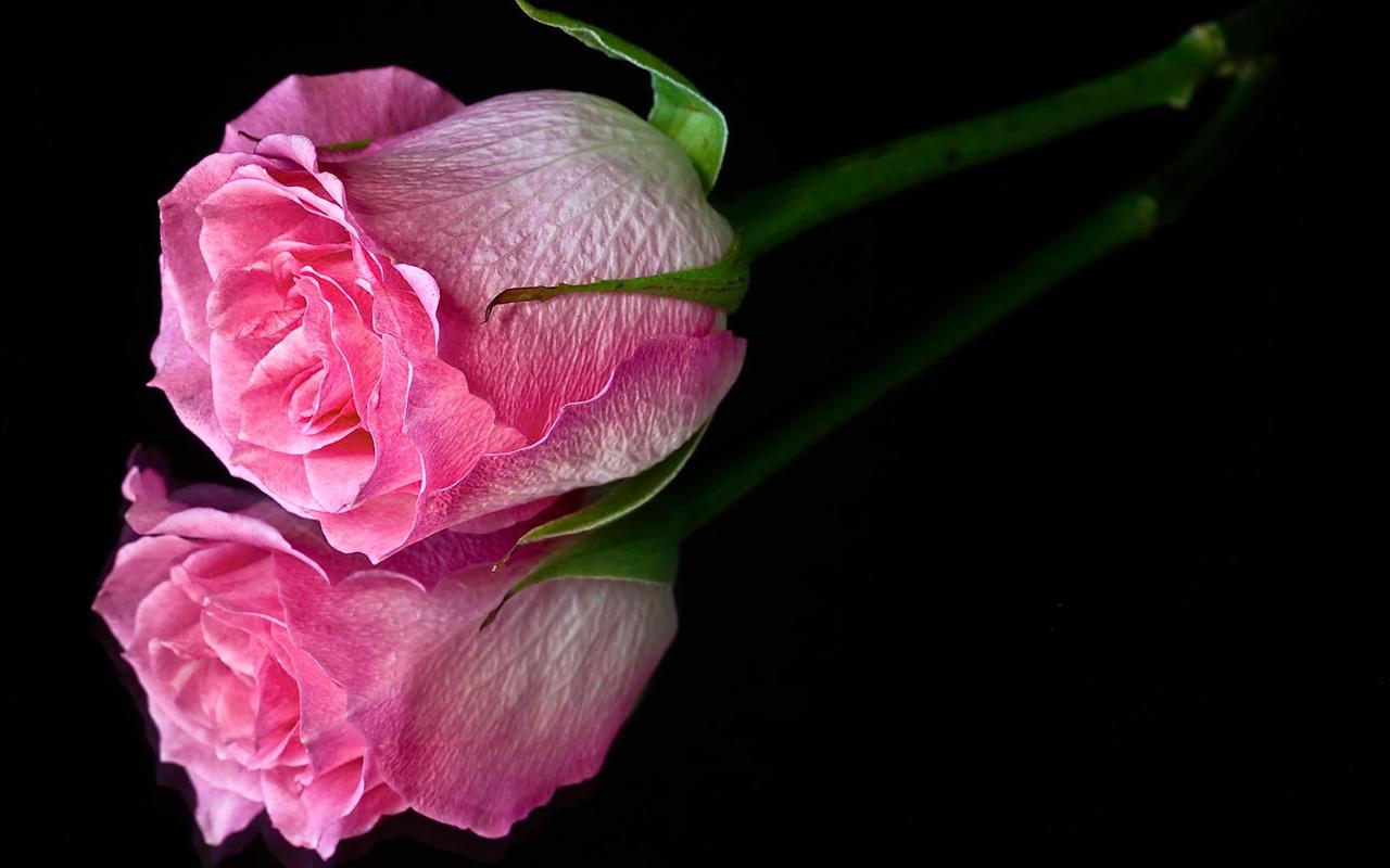 Pink and Black Rose Wallpaper - WallpaperSafari