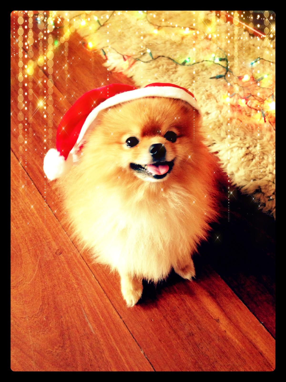 Christmas Pomeranian Wallpaper Wallpapersafari