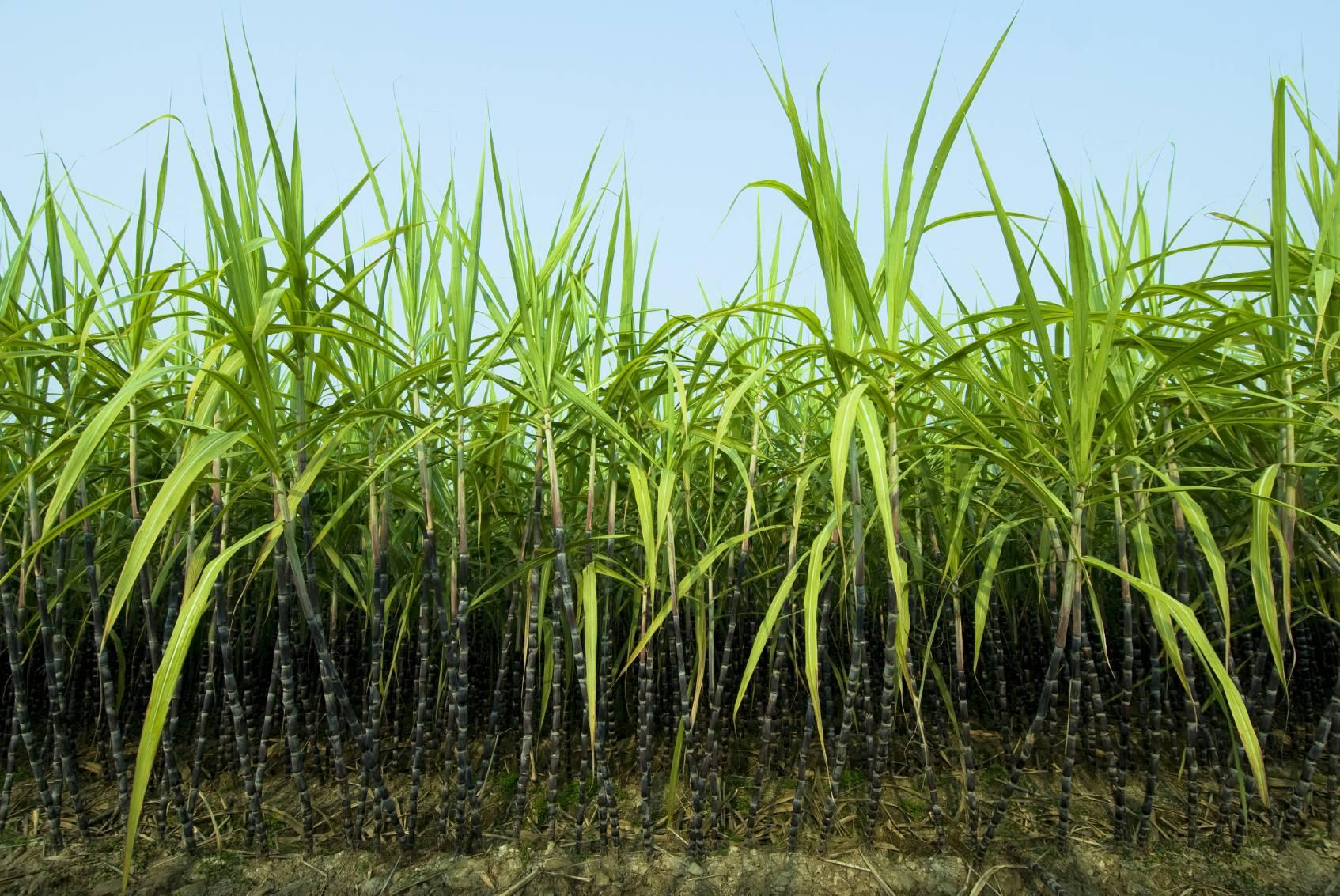 Sugarcane Wallpapers 1694x1133