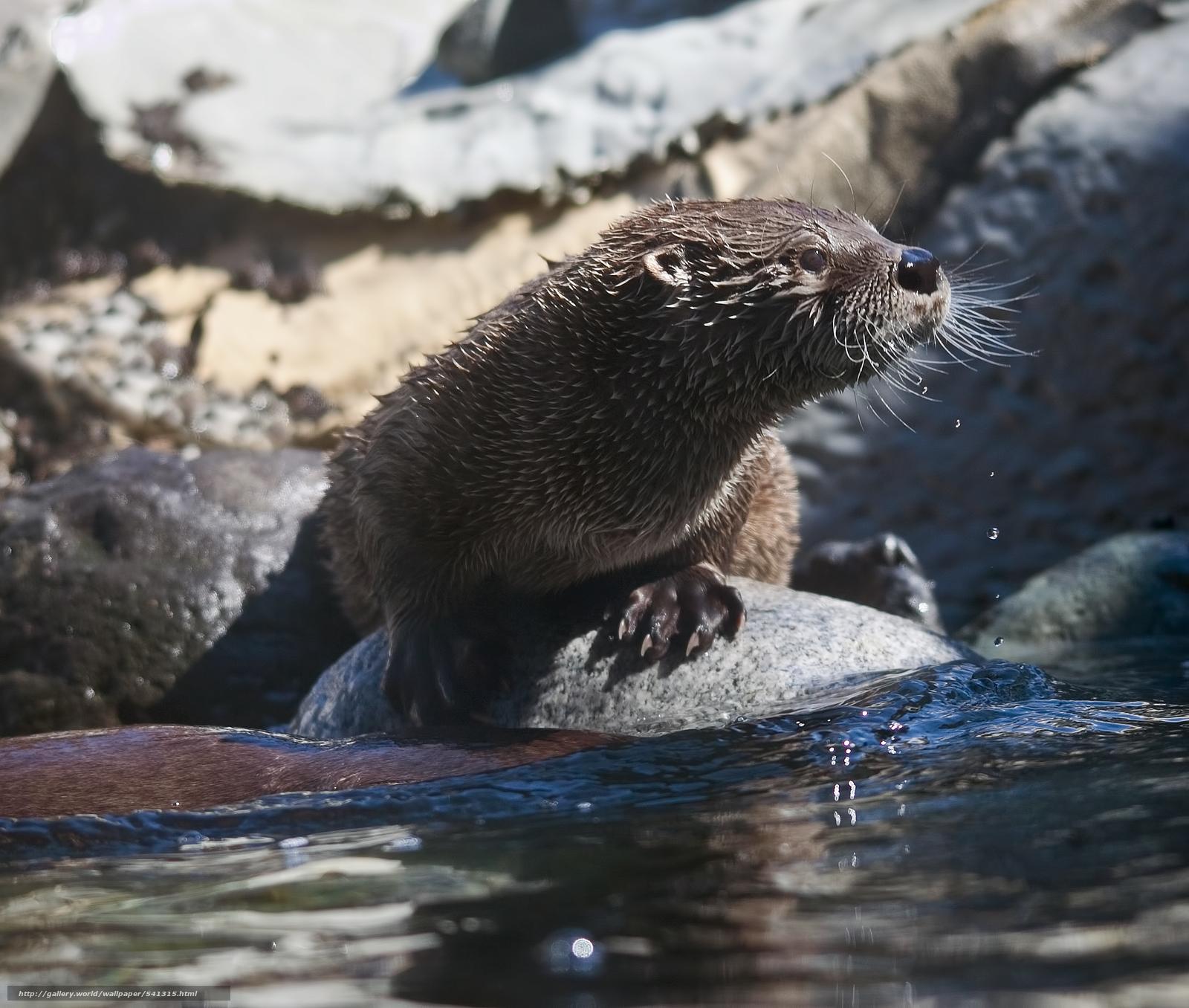 Download wallpaper river otter river Otter desktop wallpaper 1600x1356