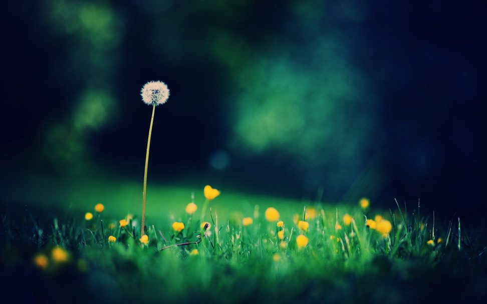 hd dandelion desktop background hd dandelion desktop background 972x608