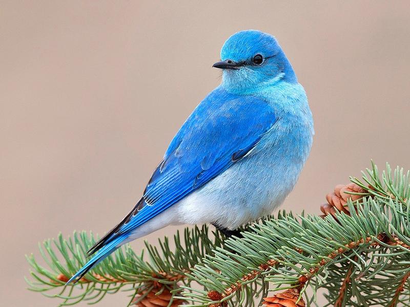 Beautiful Bird Blue Bird Animals Birds HD Desktop Wallpaper 800x600