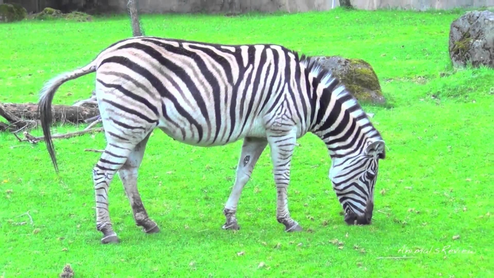 Damara Zebra WeNeedFun 1920x1080
