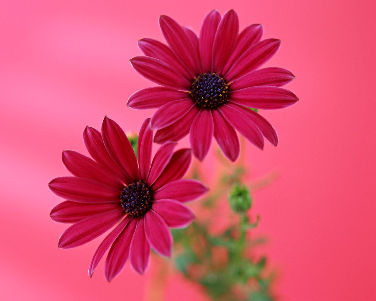 Gerbera Daisy desktop Wallpapers   HD Wallpapers 15566 1280x1024
