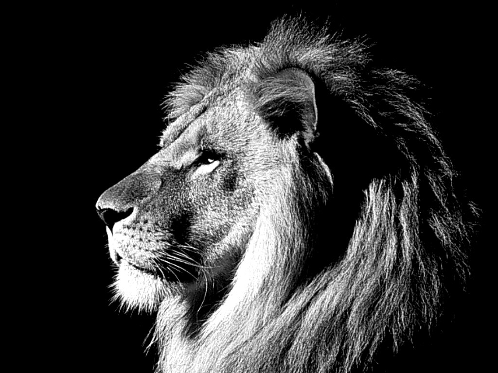 Black lion images black lion images black lion images black lion 1024x768