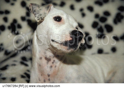 dalmatian dog dogs pet pets puppy spot spots spotted white young 500x359