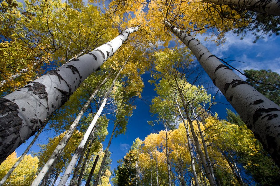 Birch trees A Lovesong For Canada Pinterest 960x640