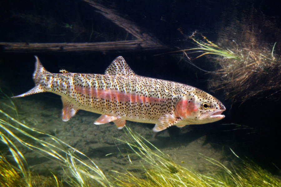 rainbow trout Description original range of the rainbow trout was from northern mexico to the kuskokwim river, alaska some stocks existed in the great basin and in british columbia, but none was native to any part of the colorado river.