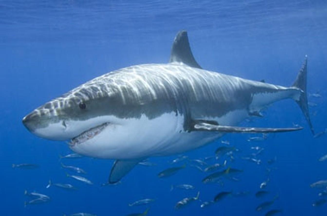 great white shark live wallpaper
