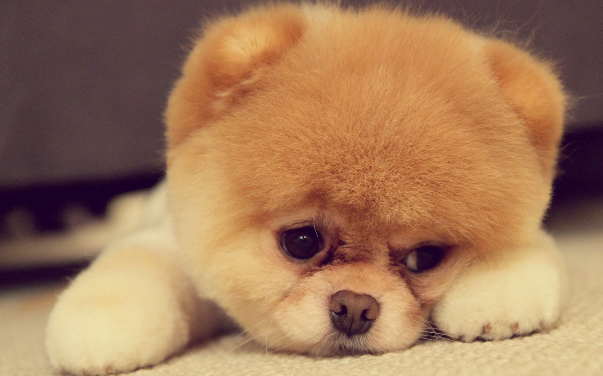 puppy sad face dog animals hd wallpaper image 1920x1200