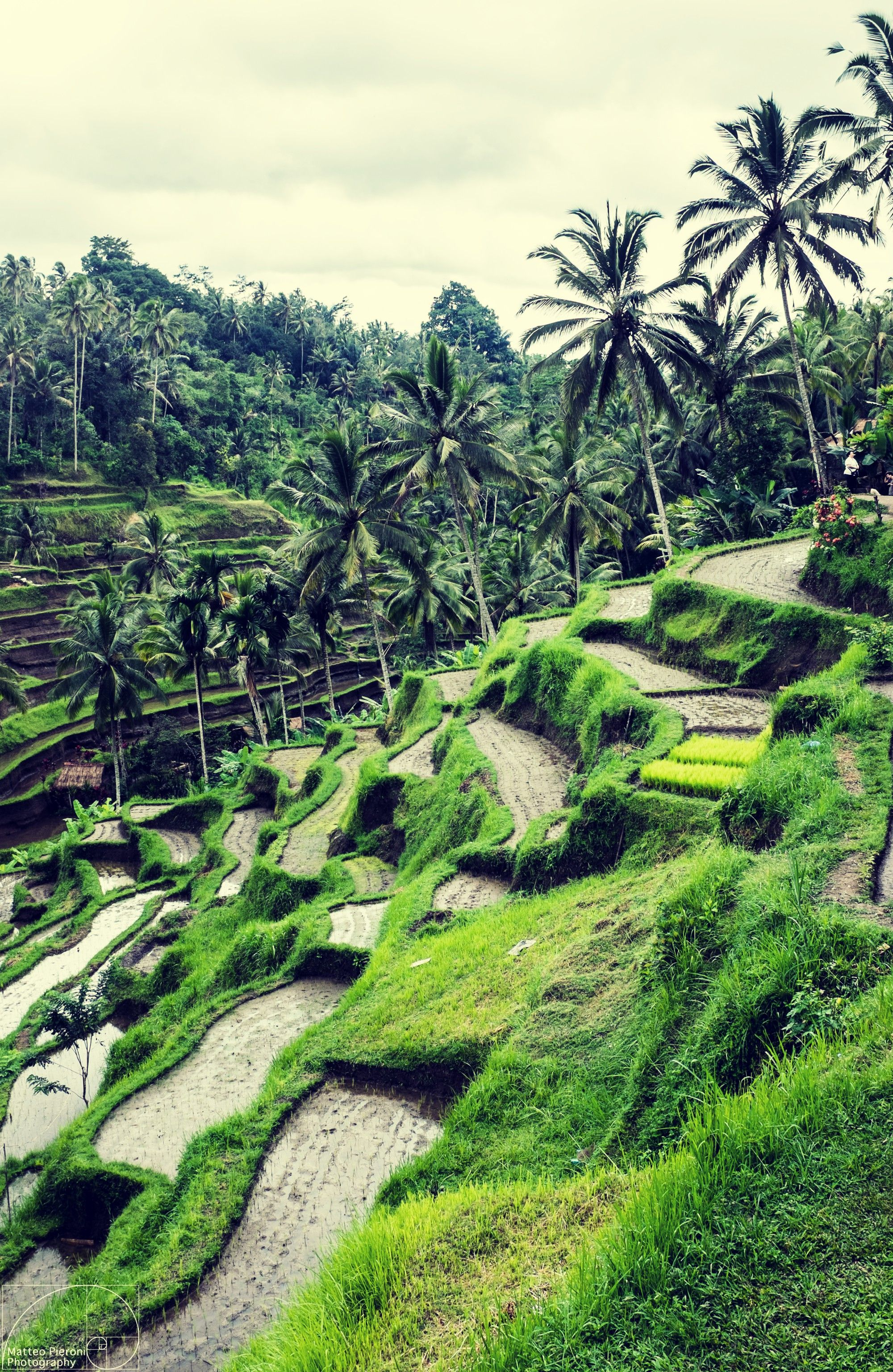 Free Download Amazing Rice Fields In Ubud Indonesia