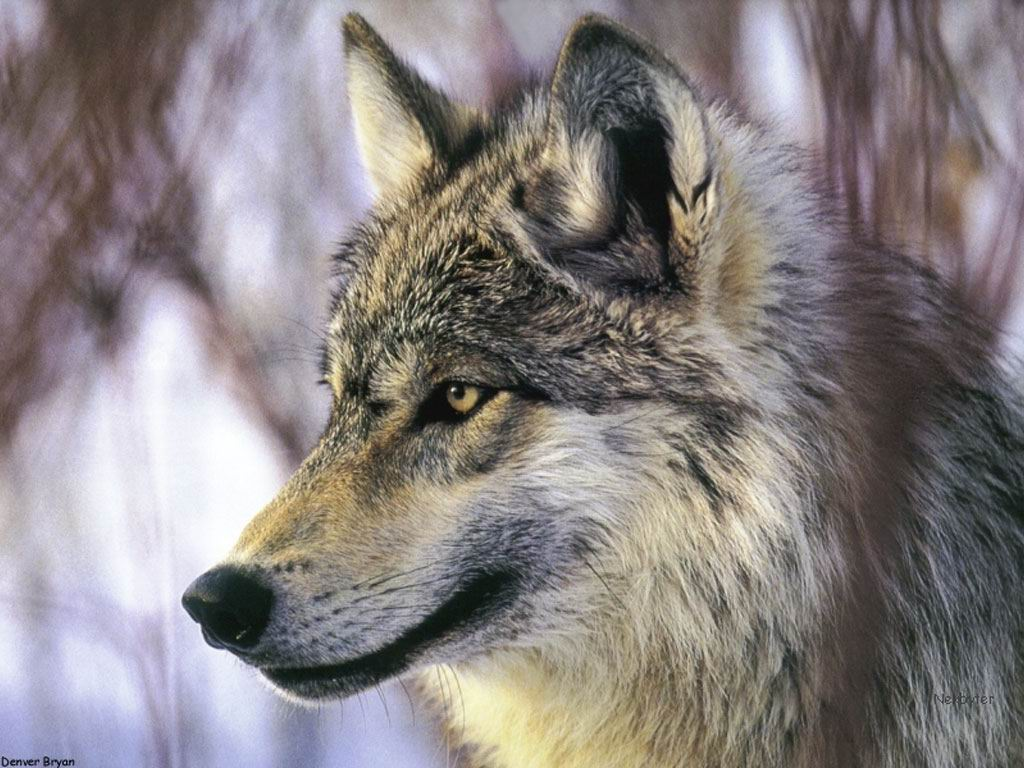 Wallpaper wolf Grey Wolf 1024x768