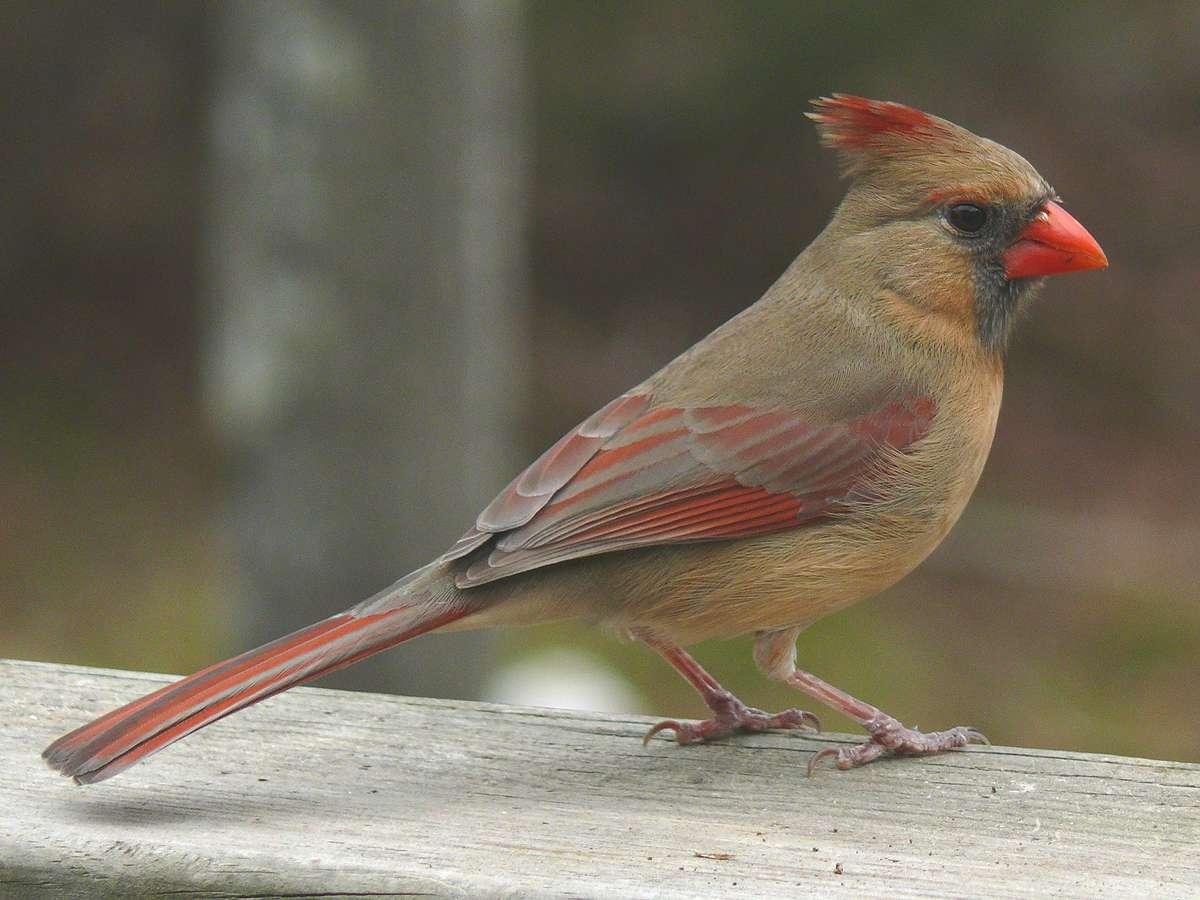 cardinalscardinal birdflying cardinalsweet cardinalsred cardinal 1200x900