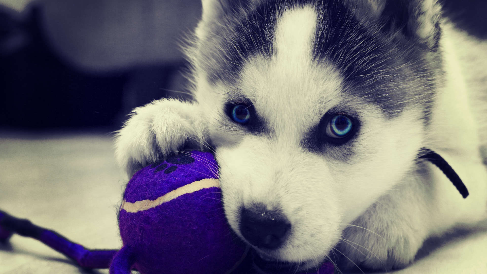 Wallpaper Siberian Husky Puppies Wallpaper HD 1080p Upload at March 1920x1080