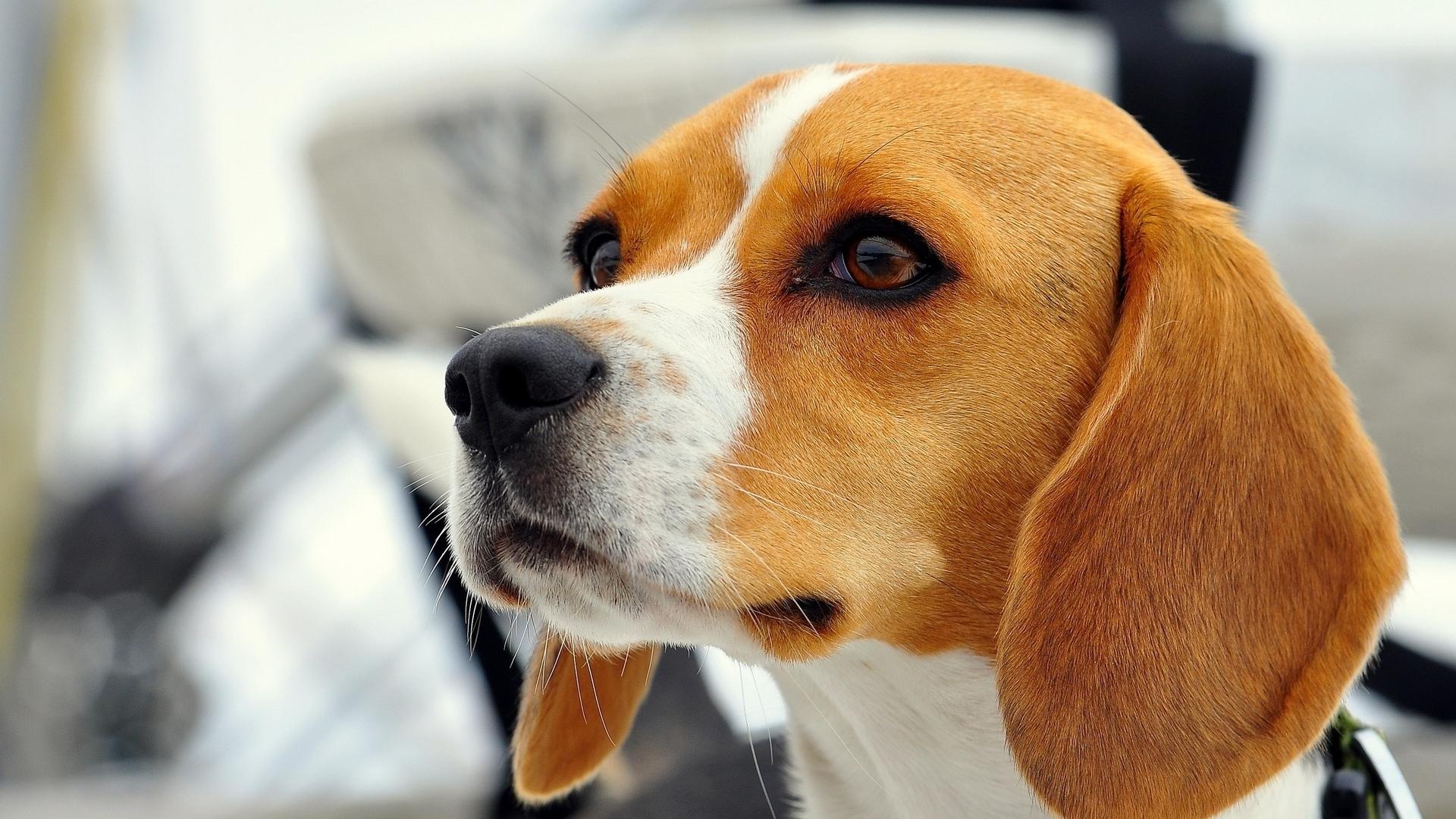 Beagle Wallpaper - WallpaperSafari