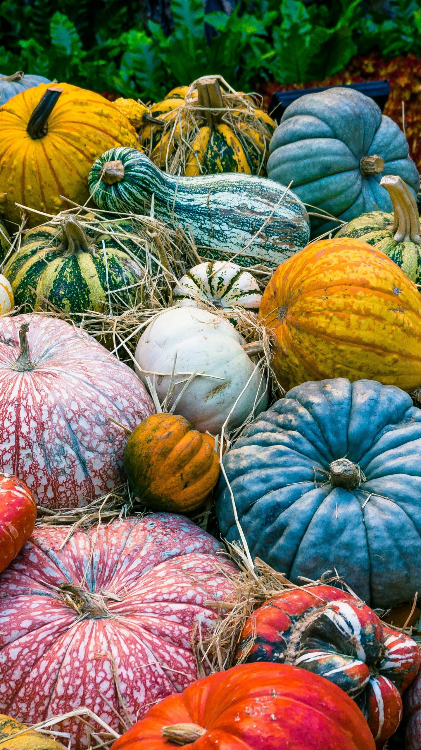 Colorful Pumpkins Wallpaper   iPhone Android Desktop Backgrounds 1440x2560
