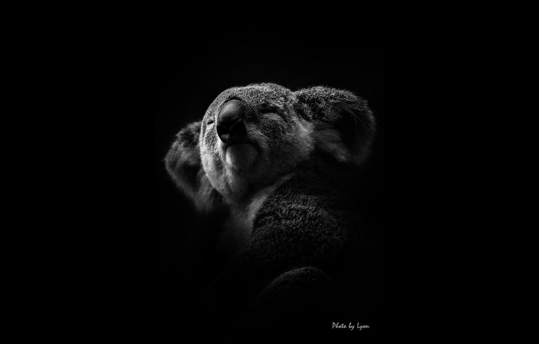 Wallpaper white black koala lyon images for desktop section 1332x850
