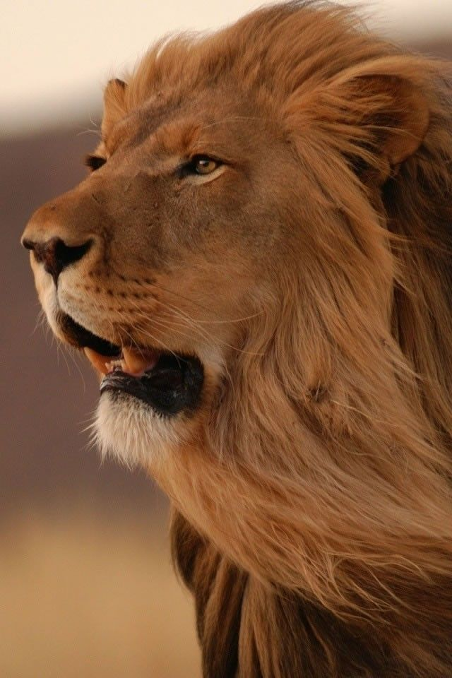 24 Best Images About King Of The Jungle Lion Roar On 640x960