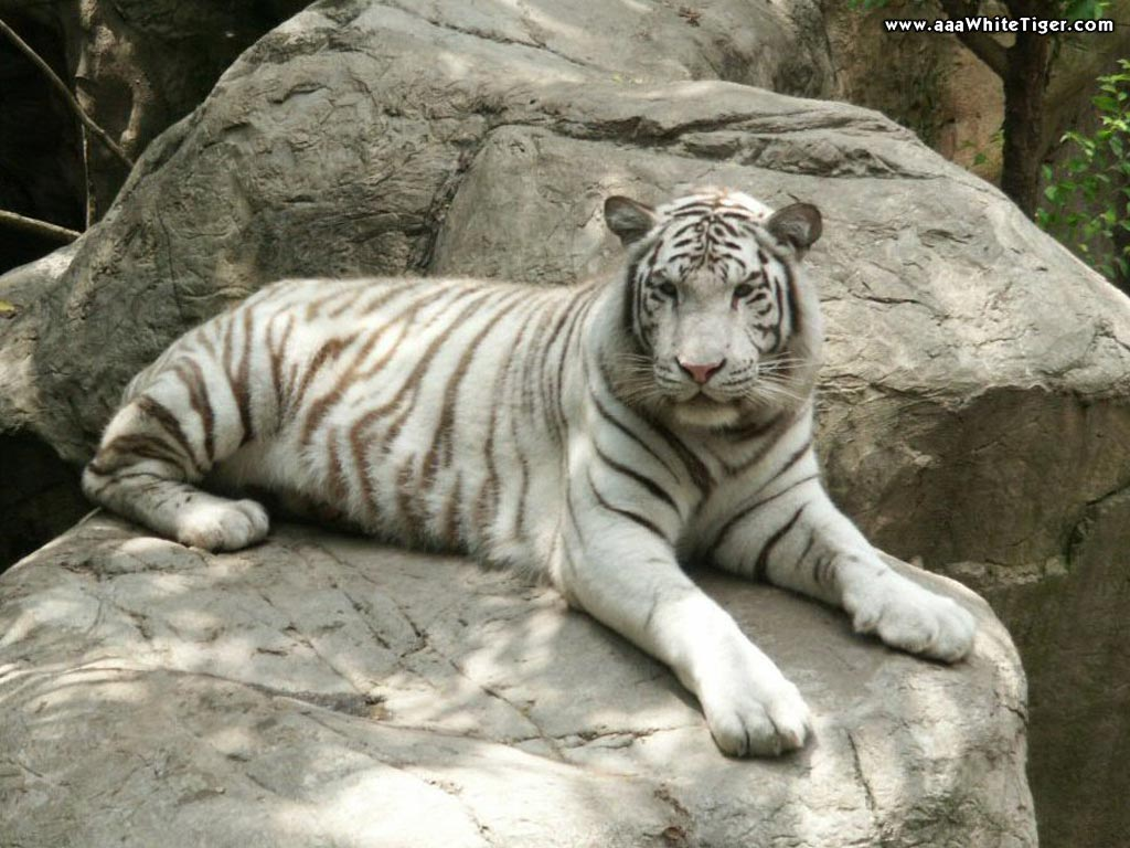 TIGER WALLPAPERS White Tiger On Rocks Wallpaper 1024x768