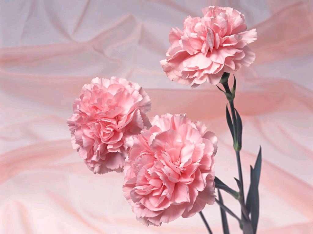 Pink Carnation   Pink Color Photo 34691889 1024x768