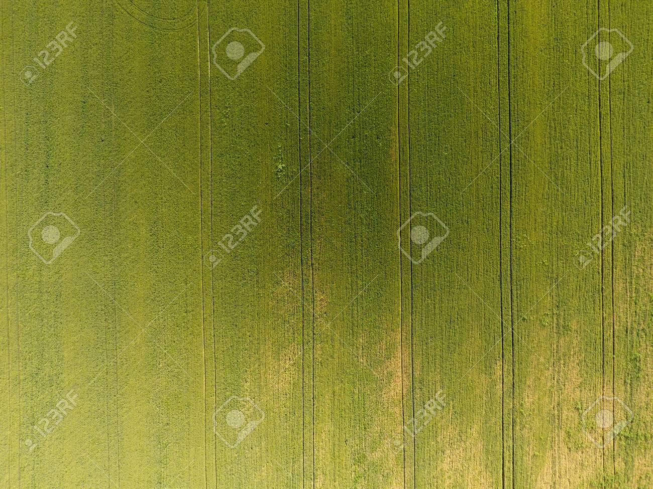 Texture Of Wheat Field Background Of Young Green Wheat On The 1300x975