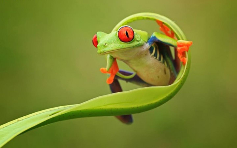 Frog   Animals Wallpaper 31940446 1440x900