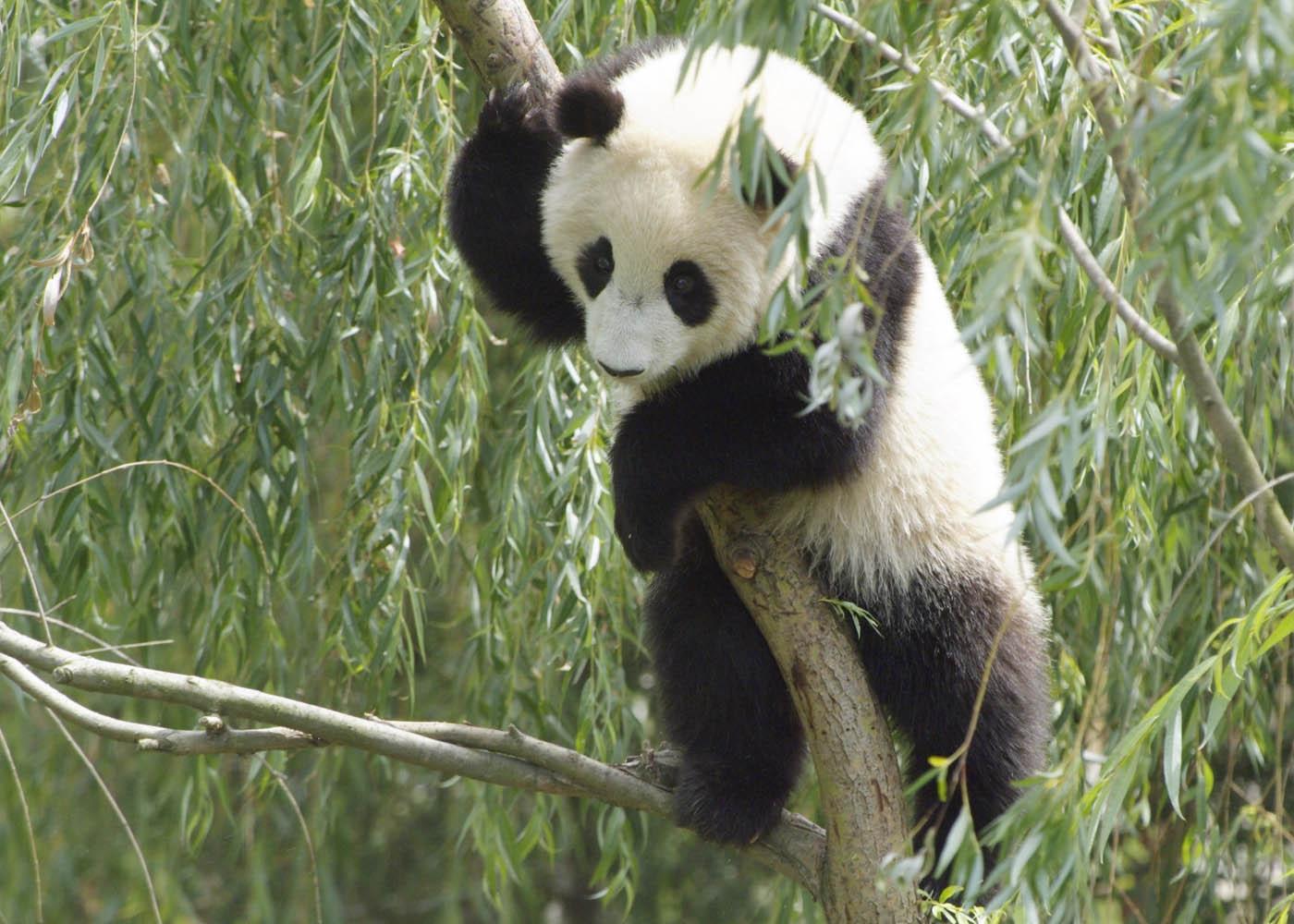 wallpapersstillmazacom201108cute panda desktop wallpaper free 1400x1000