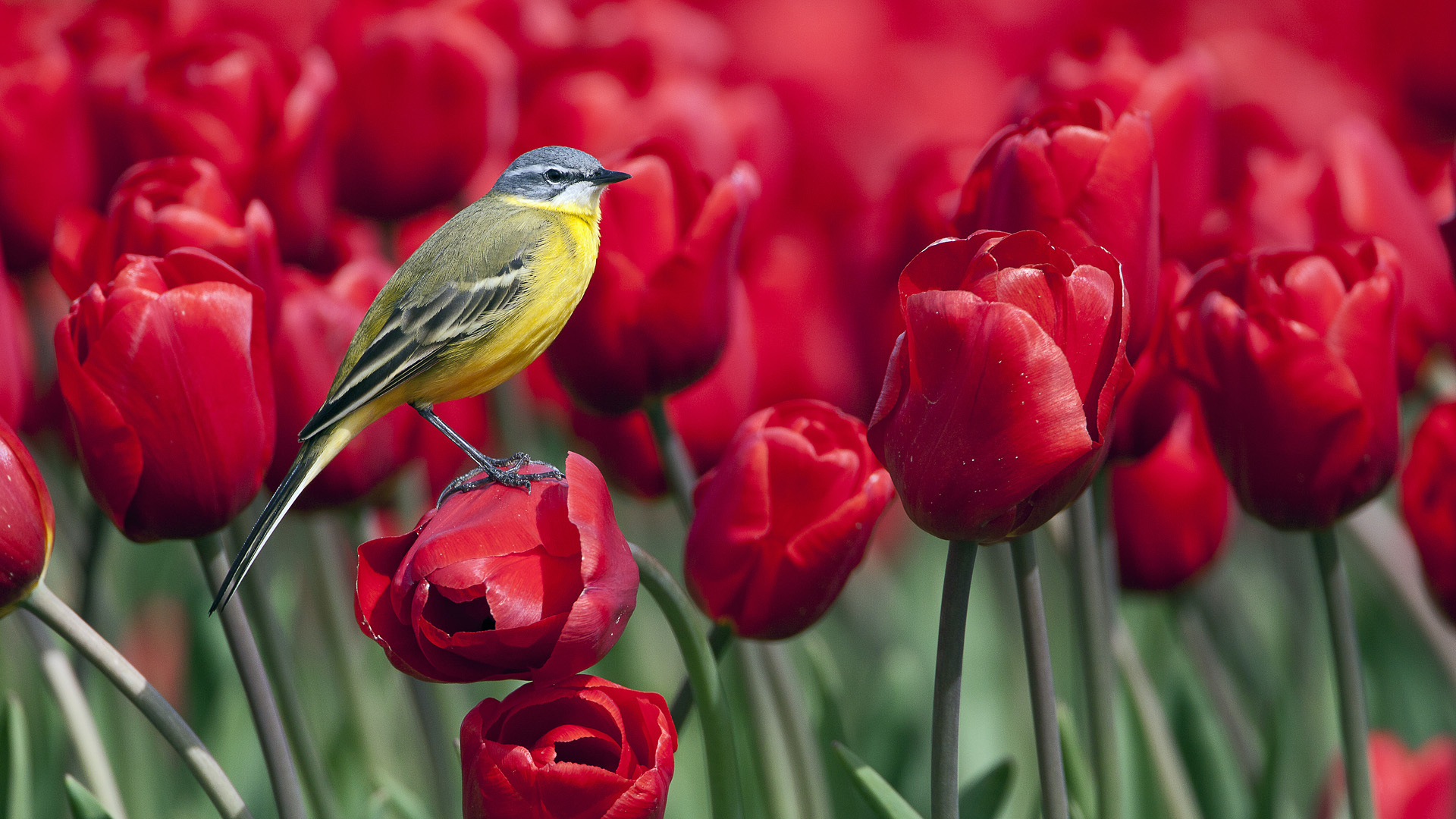 wallpaper of birds and flowers which is under the birds wallpapers 1920x1080