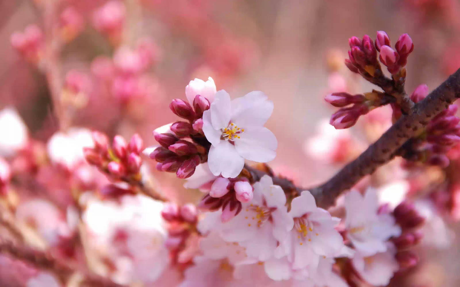 Desktop Backgrounds Cherry Flowers Photos CherryFlowers Images and 1600x1000