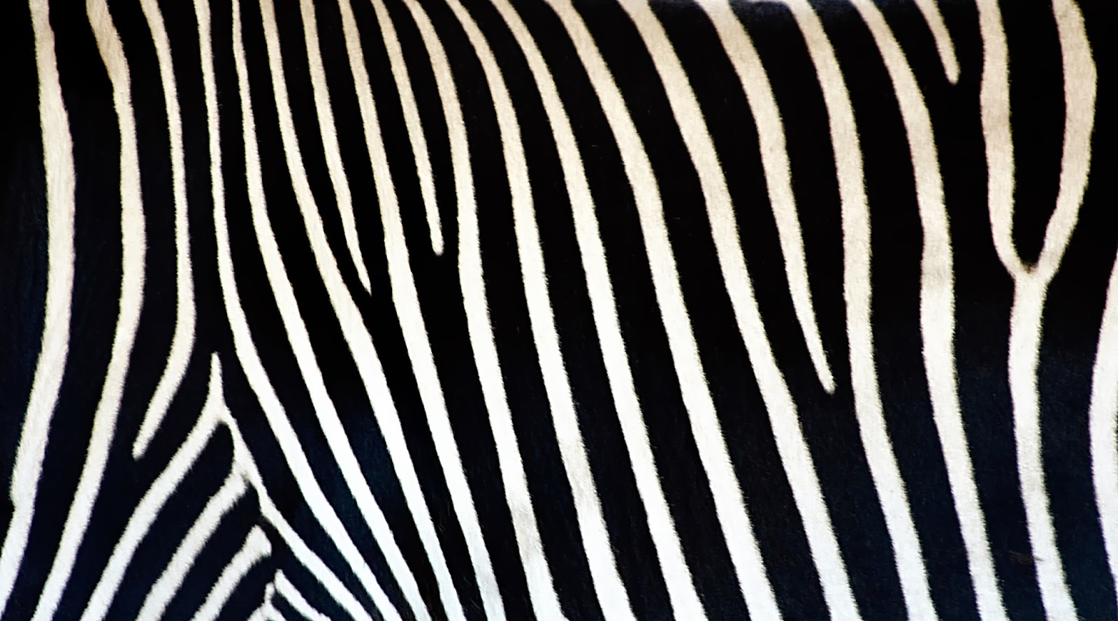 Zebra WallpaperZebra Print WallpaperZebra Wallpaper BorderPink 1600x889