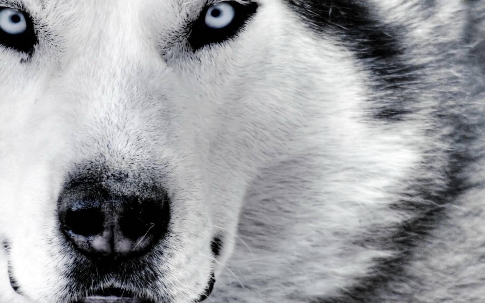 Baby Wolf Wallpaper - WallpaperSafari - photo#26
