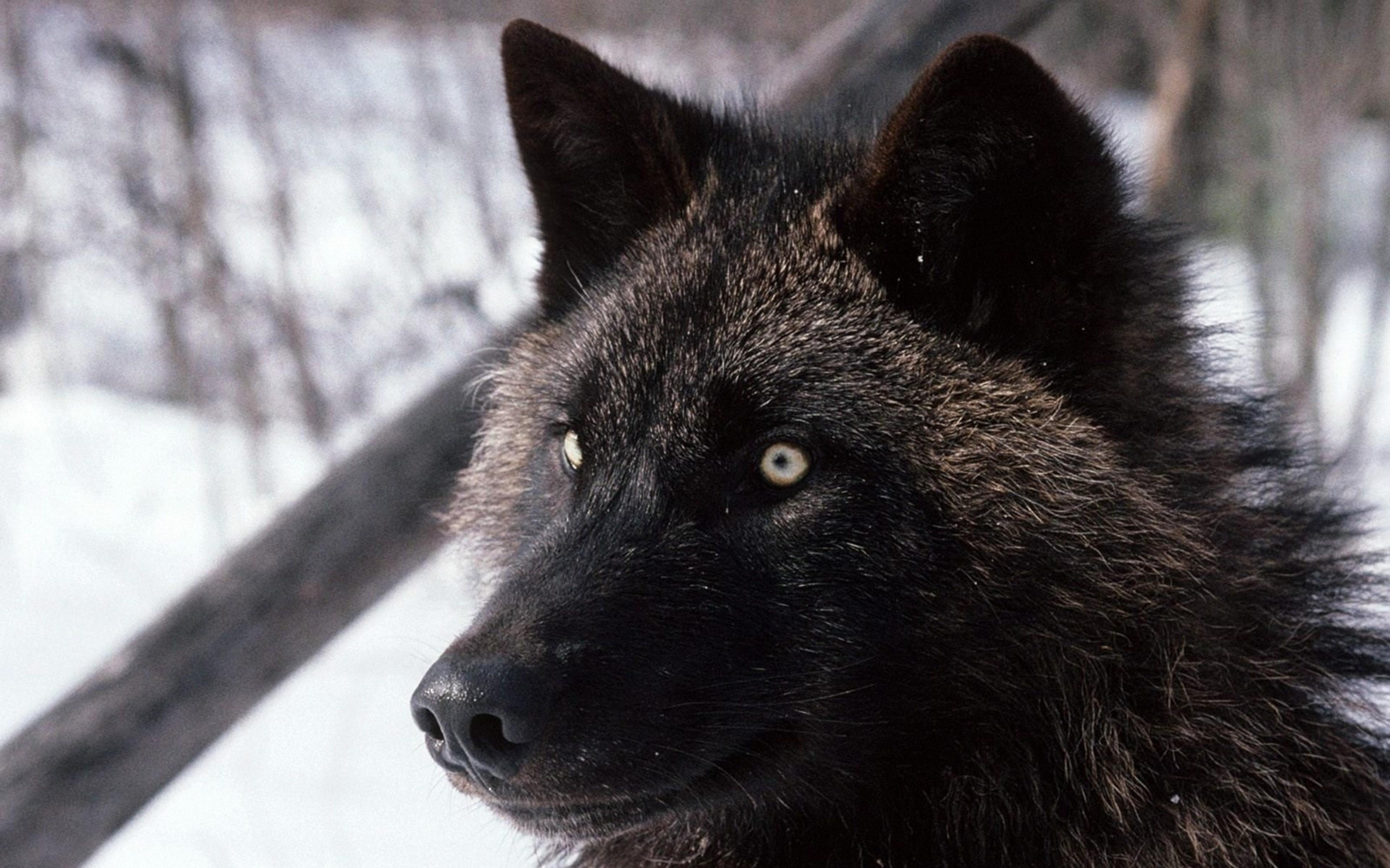 Download Wallpaper 3840x2400 Wolf Dark Eyes Hair Dog Ultra HD 4K 3840x2400