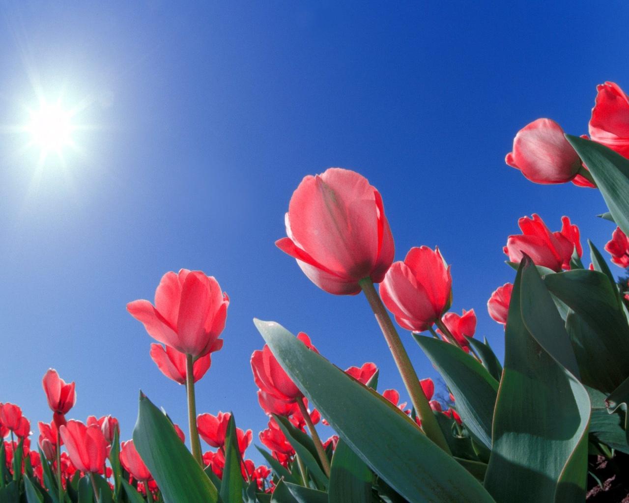 Red Tulips Cincinnati Ohio Wallpapers HD Wallpapers 1280x1024