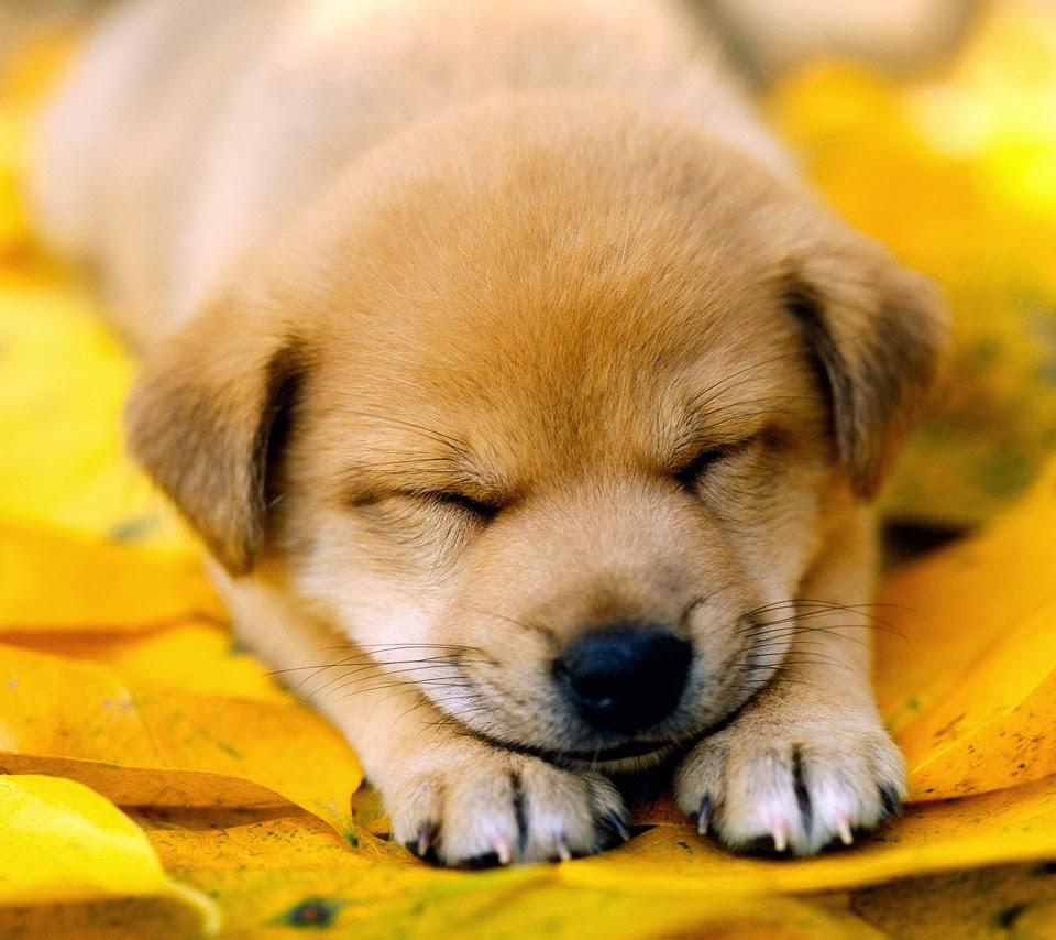 Sleeping dog wallpaper cute on pc   beautiful desktop 960x854