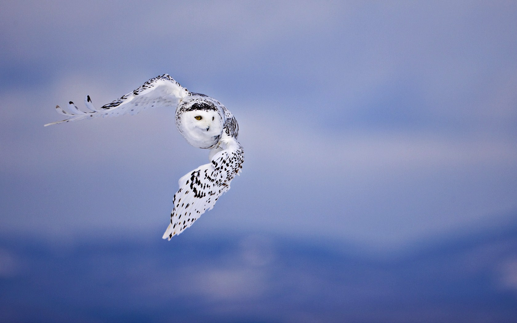 Flying Owl Wallpaper 1680x1050