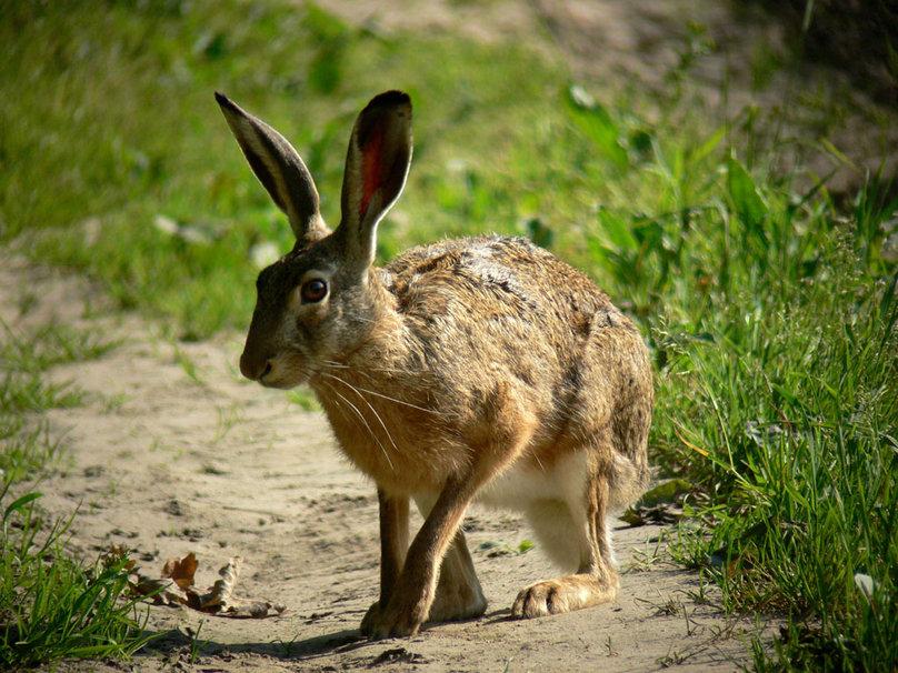 Boxing Hare Wallpaper - WallpaperSafari