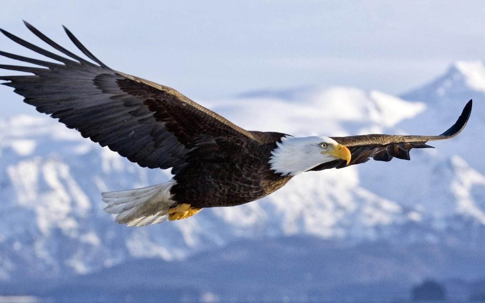 Beautiful HD Wallpapers 4 u Download 3D Flying Bald Eagle HD 1600x1000
