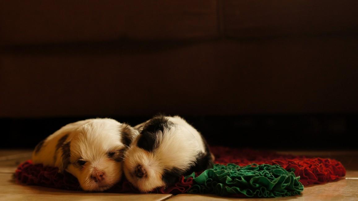 Dogs Puppies Sleeping Lying Sleeping Pad   Stock Photos 1157x650
