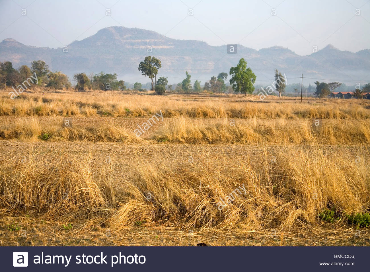 Dry grass of wheat crop mountain range in background Karjat 1300x956