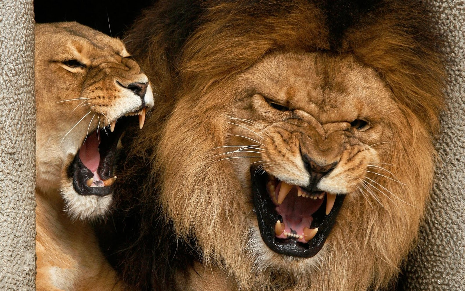 lion with scary faces picture beautiful cute lion wallpaper tigers 1600x1000